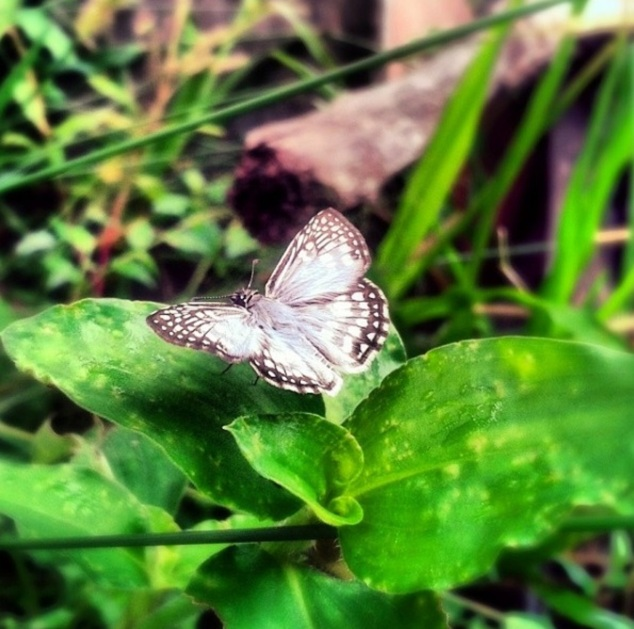 borboleta-ju